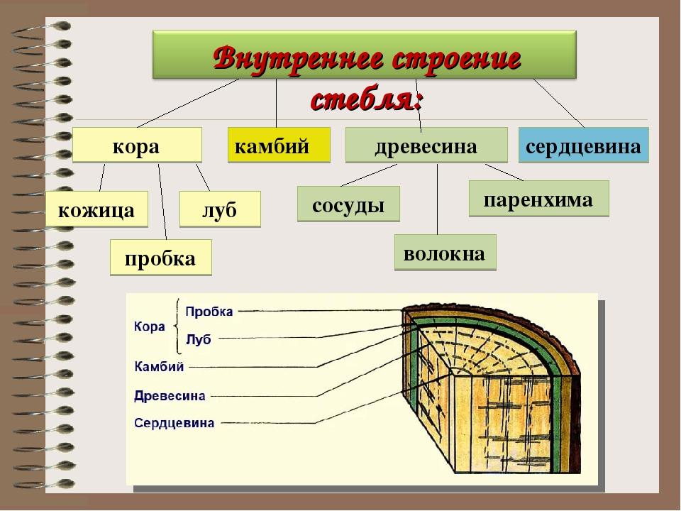 схема строения коры дерева первый бой мма
