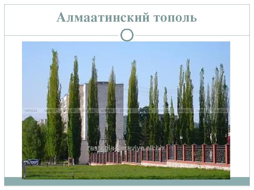 Алмаатинский тополь