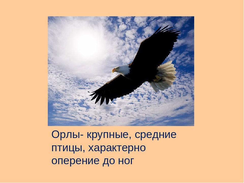 Орлы- крупные, средние птицы, характерно оперение до ног