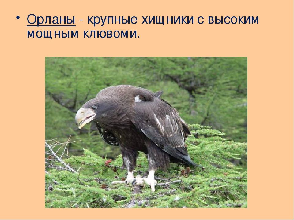 Орланы - крупные хищники с высоким мощным клювоми.