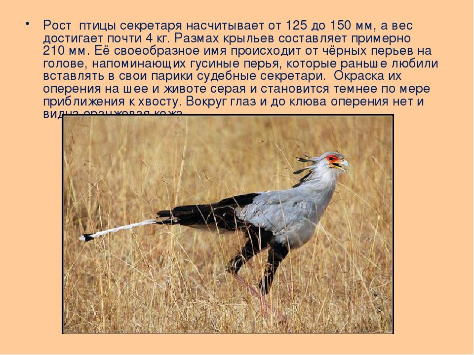 Рост птицы секретаря насчитывает от 125 до 150мм, а вес достигает почти 4кг...