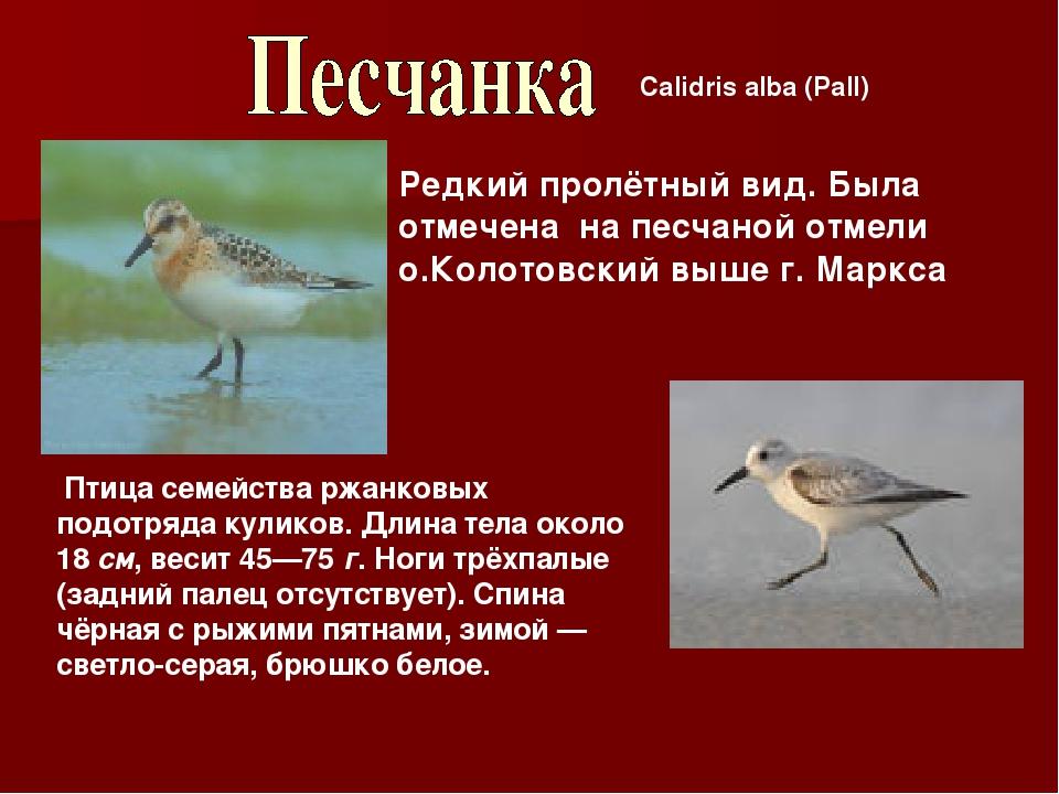 Calidris alba (Pall) Редкий пролётный вид. Была отмечена на песчаной отмели о...