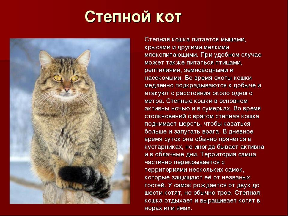 Степной кот Степная кошка питается мышами, крысами и другими мелкими млекопит...
