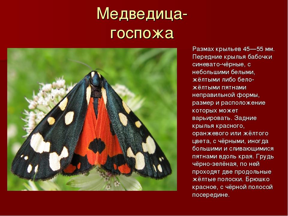 Медведица- госпожа Размах крыльев 45—55 мм. Передние крылья бабочки синевато-...