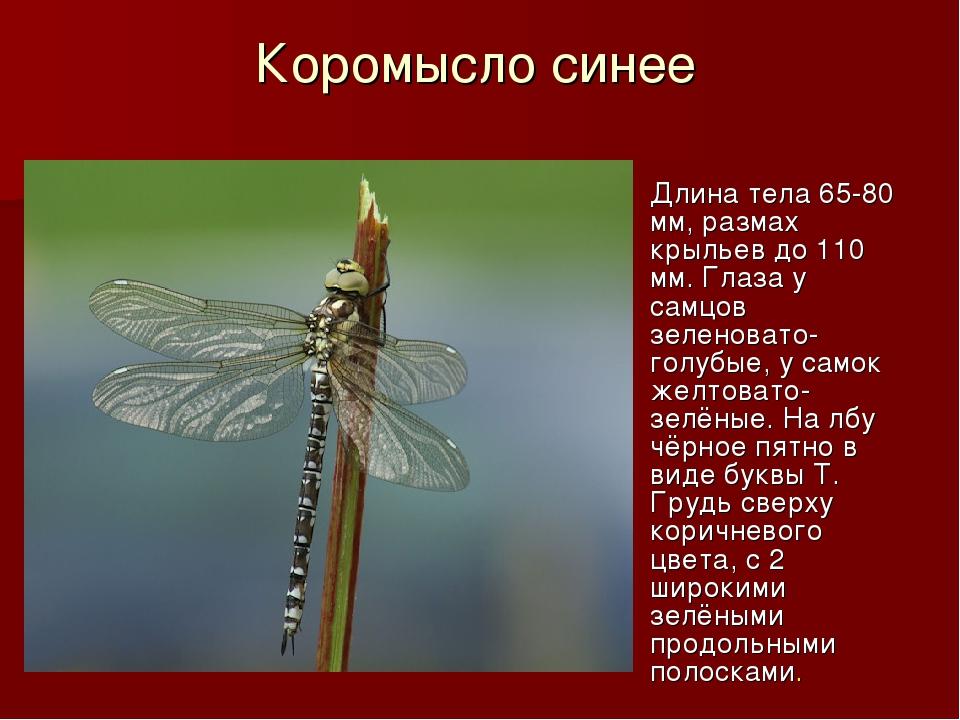 Коромысло синее Длина тела 65-80 мм, размах крыльев до 110 мм. Глаза у самцов...