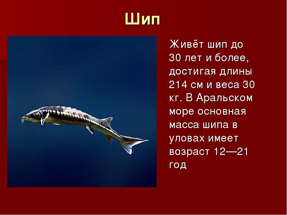 Шип Живёт шип до 30 лет и более, достигая длины 214 см и веса 30 кг. В Аральс...