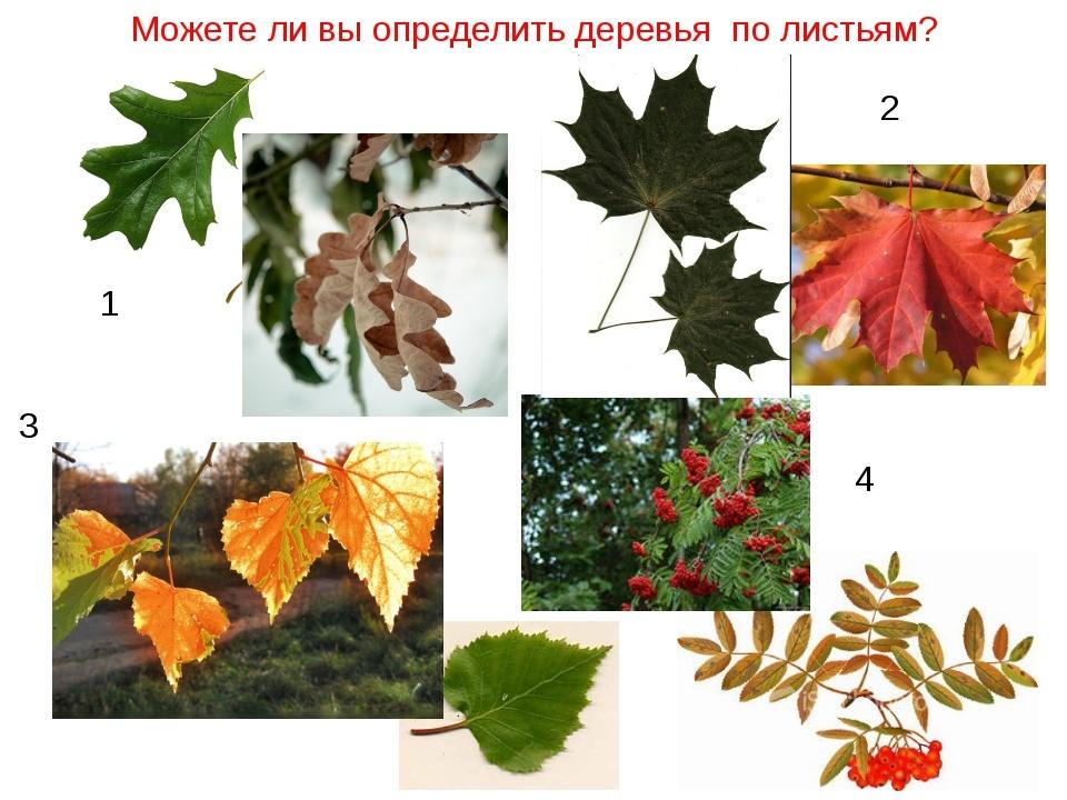 чалма лавела разновидности листьев деревьев с названиями и фото галкина голая фото