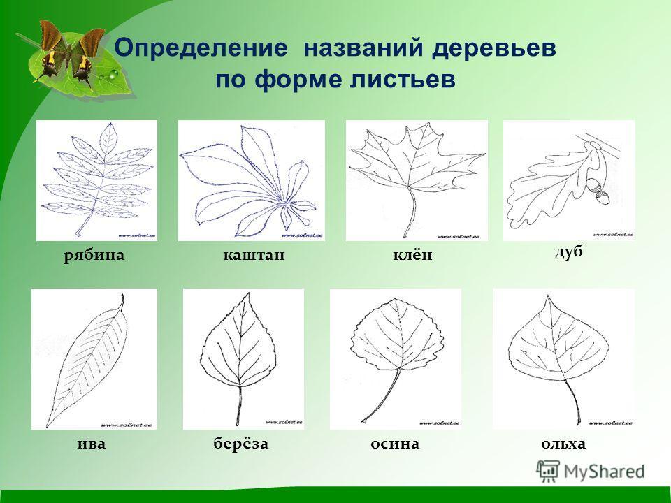 виды деревьев в картинках их листья осетин