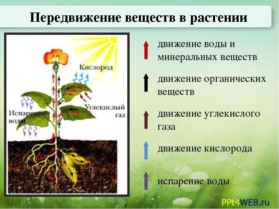 последний презентация передвижение веществ в растении 6 класс биология туры Египет Екатеринбурга