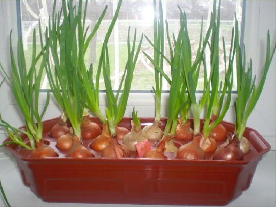 Выращивание лука на подоконнике зимой: годовой запас витамин.
