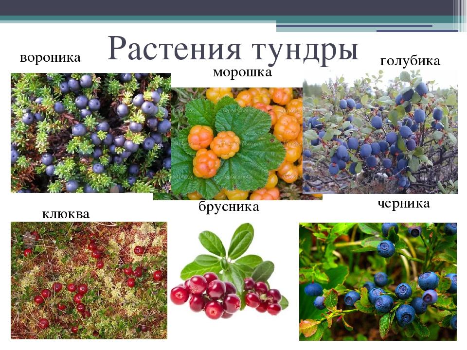 приготовления растения тундры список с фото отделе ремонту мне