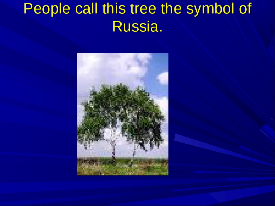 People call this tree the symbol of Russia.