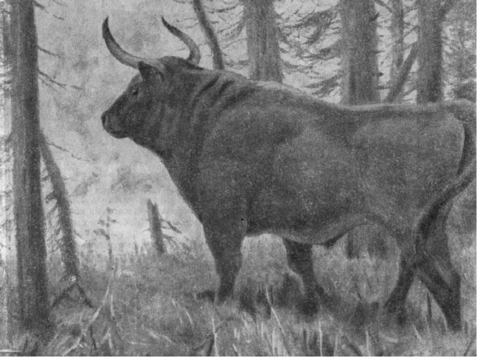 картинки предки коровы