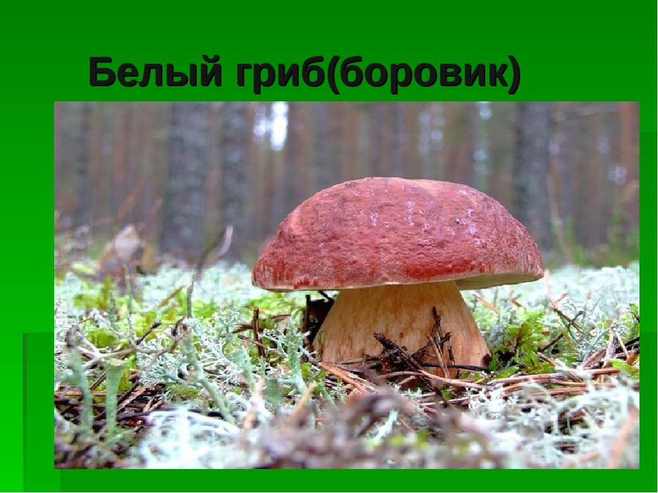 Белый гриб(боровик) Белый гриб (боровик)