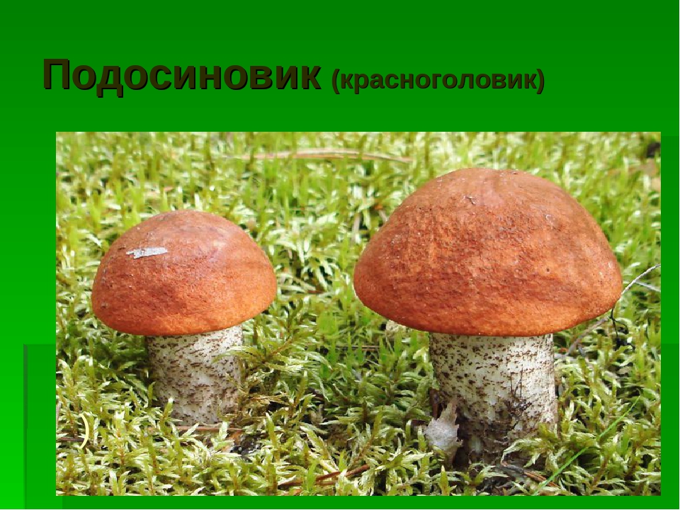 Подосиновик (красноголовик) )