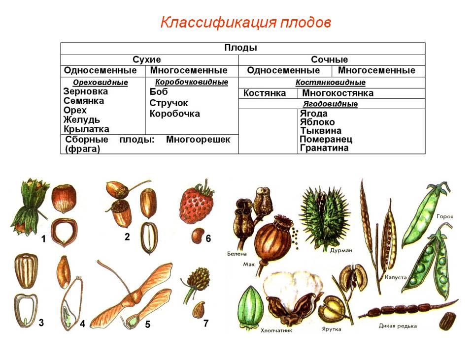 худенькая, уже плоды растений с картинками расхвалила метод посоветовала
