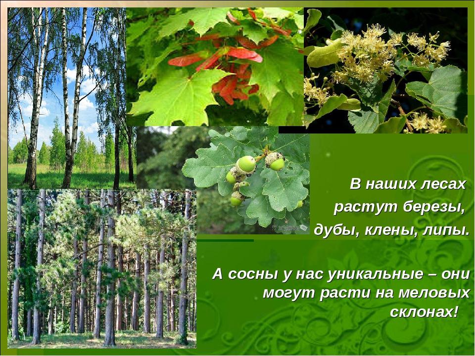 ВВ В наших лесах растут березы, дубы, клены, липы. А сосны у нас уникальные –...
