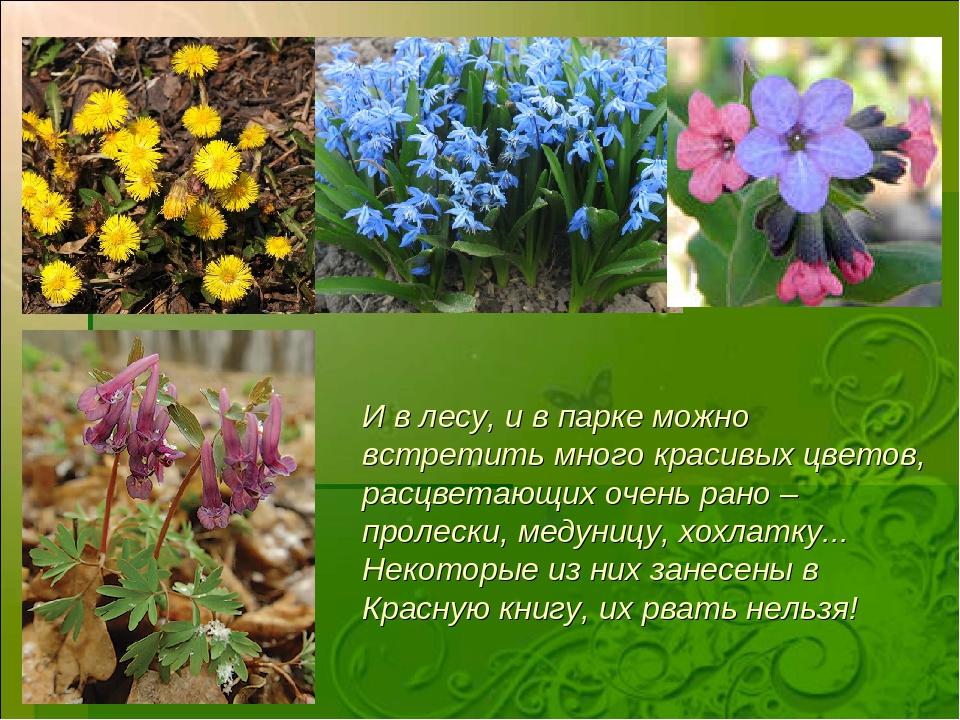 И в лесу, и в парке можно встретить много красивых цветов, расцветающих очень...