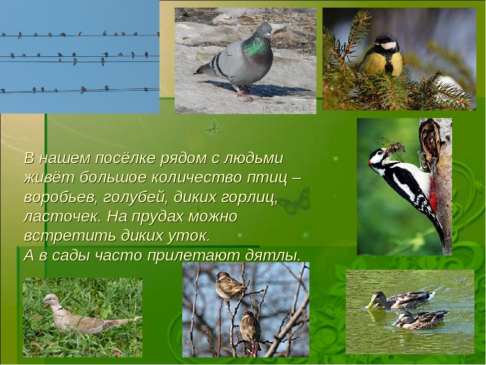 В нашем посёлке рядом с людьми живёт большое количество птиц – воробьев, голу...