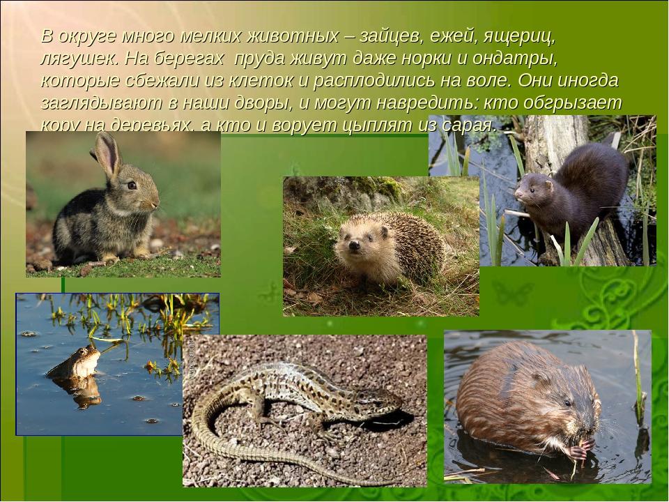 В округе много мелких животных – зайцев, ежей, ящериц, лягушек. На берегах пр...