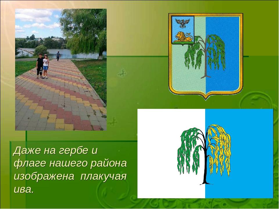 Даже на гербе и флаге нашего района изображена плакучая ива.
