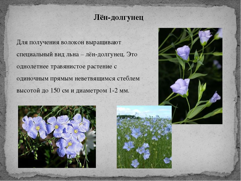 Особенности выращивания льна-долгунца 24