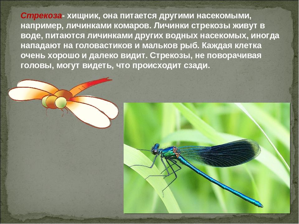 Стрекоза- хищник, она питается другими насекомыми, например, личинками комаро...
