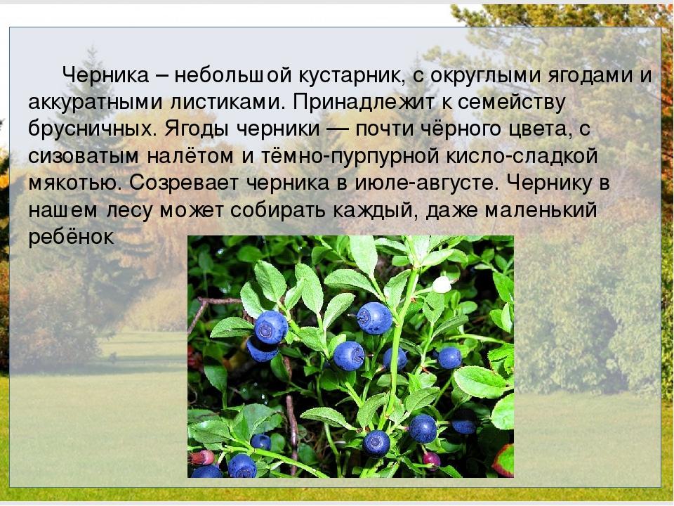 Черника – небольшой кустарник, с округлыми ягодами и аккуратными листиками....