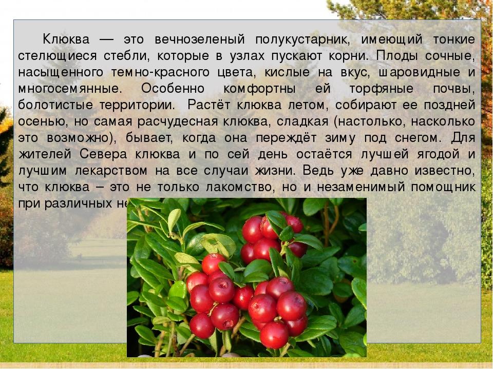 Клюква — это вечнозеленый полукустарник, имеющий тонкие стелющиеся стебли,...