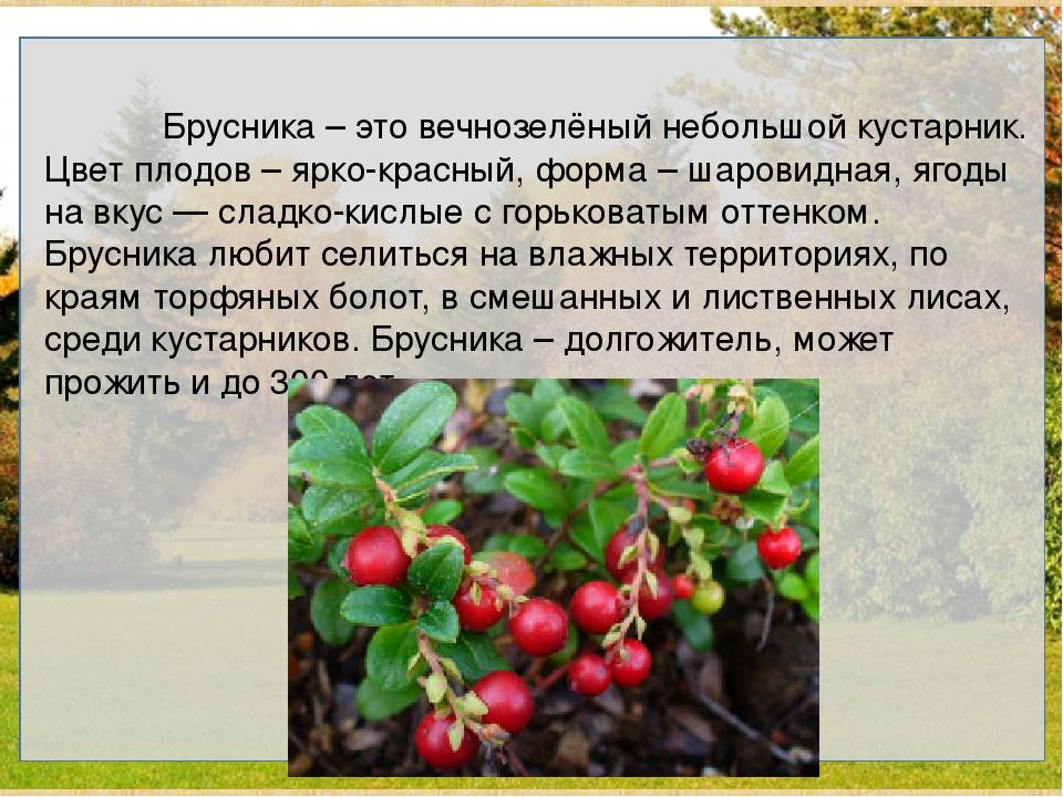 Брусника – это вечнозелёный небольшой кустарник. Цвет плодов – ярко-красный,...