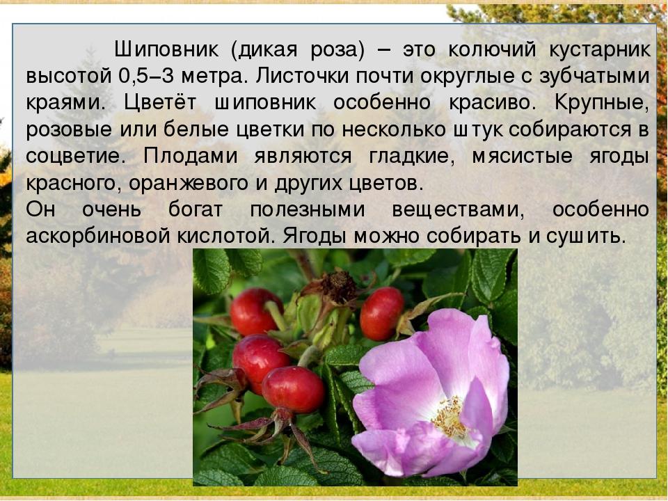Шиповник (дикая роза) – это колючий кустарник высотой 0,5−3 метра. Листочки...