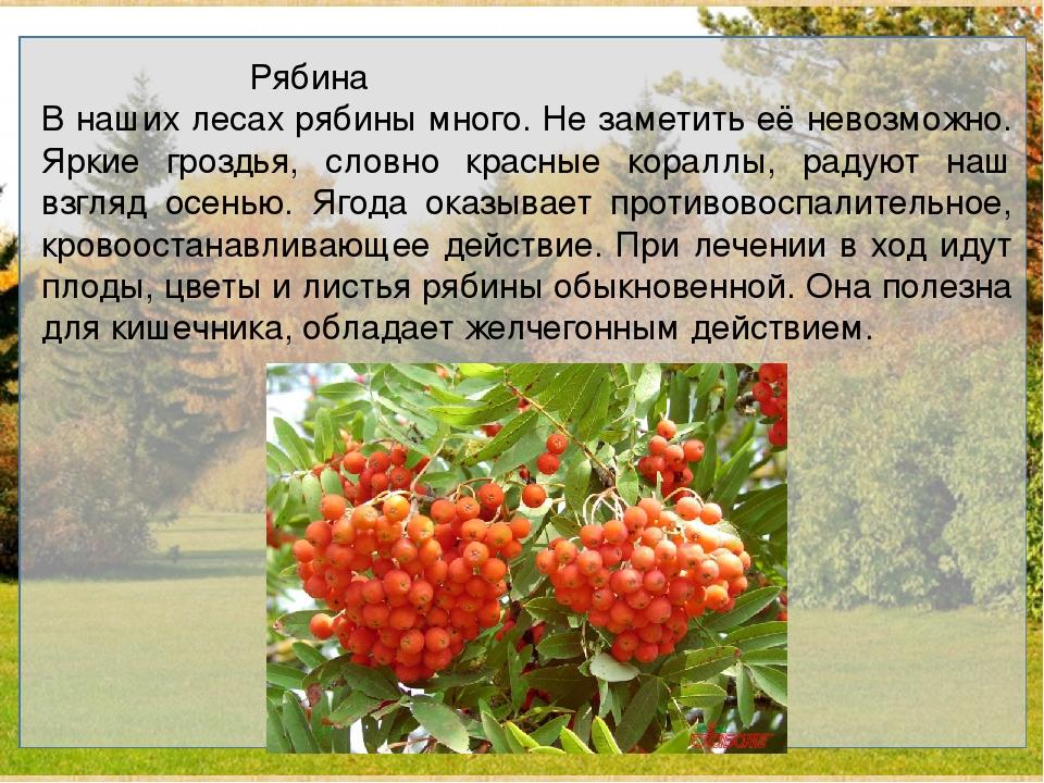 Рябина В наших лесах рябины много. Не заметить её невозможно. Яркие гроз...