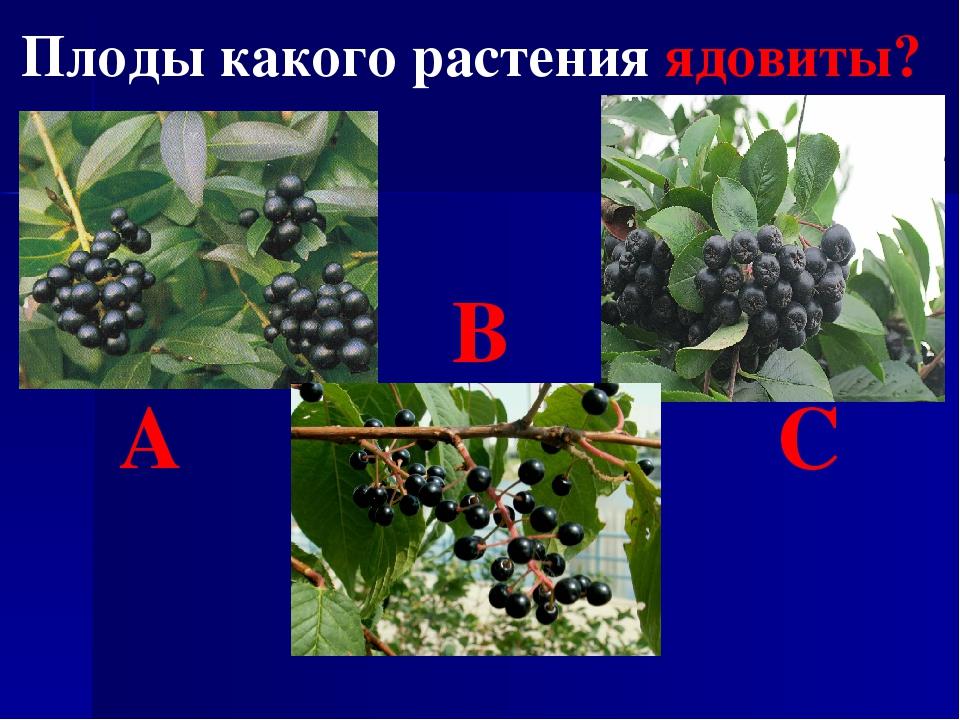 Плоды какого растения ядовиты? А В С