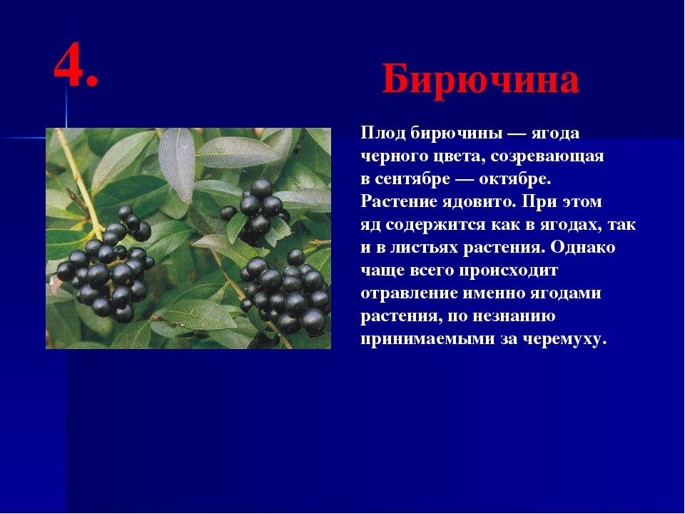 Плод бирючины— ягода черного цвета, созревающая всентябре— октябре. Растен...