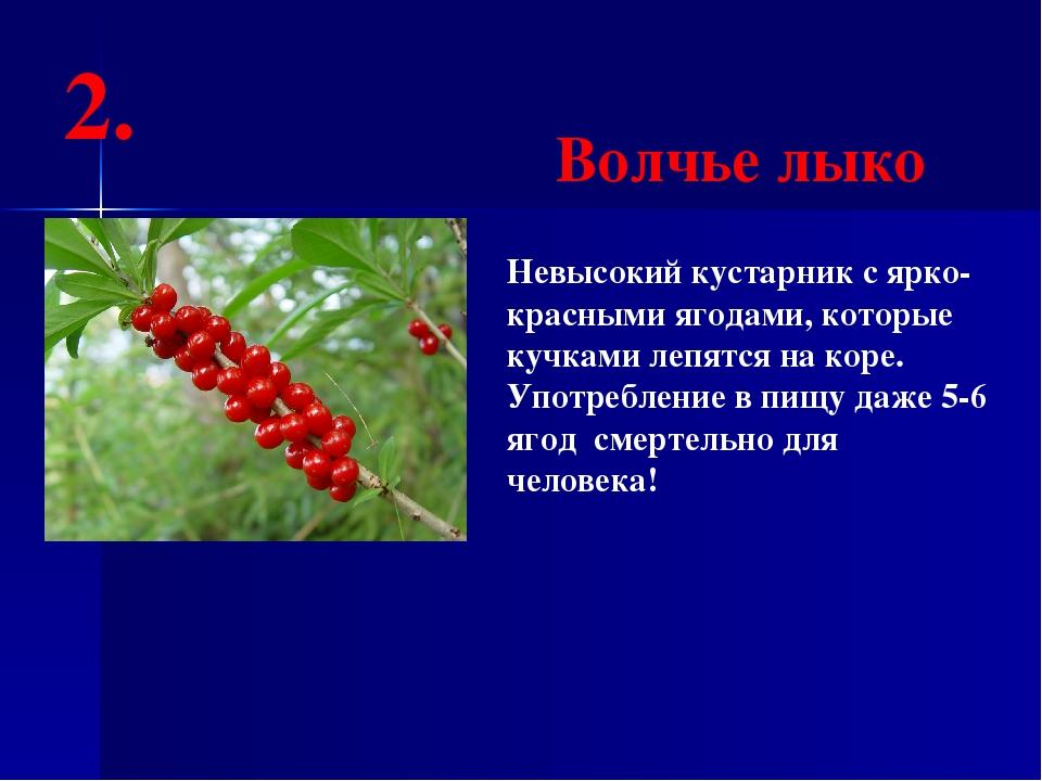 Невысокий кустарник с ярко-красными ягодами, которые кучками лепятся на коре...