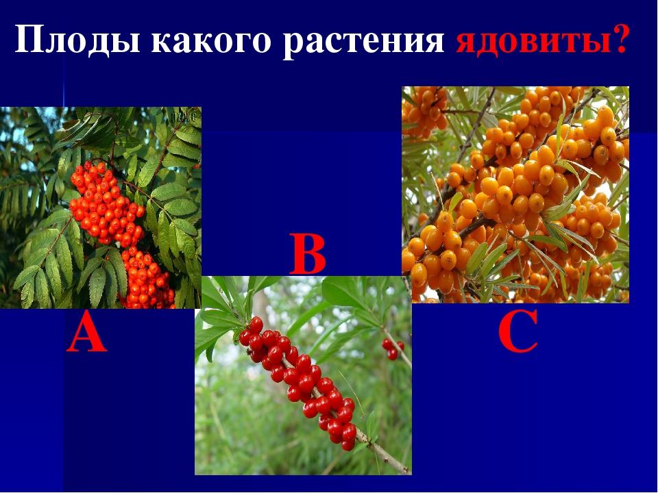 Плоды какого растения ядовиты? В А С