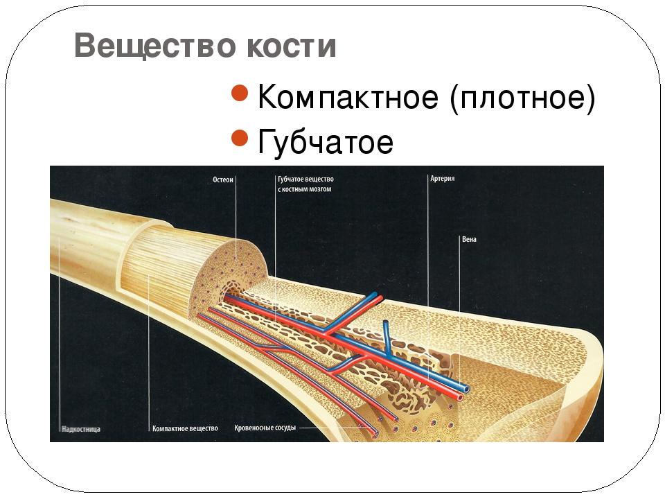 Вещество кости Компактное (плотное) Губчатое