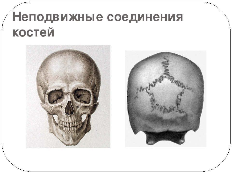 Неподвижные соединения костей