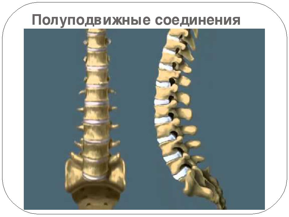 Полуподвижные соединения костей