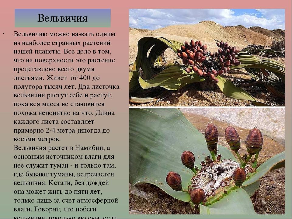 Вельвичия Вельвичию можно назвать одним из наиболее странных растений нашей п...