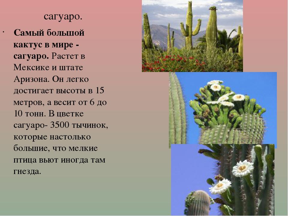 сагуаро. Самый большой кактус в мире - сагуаро.Растет в Мексике и штате Ариз...