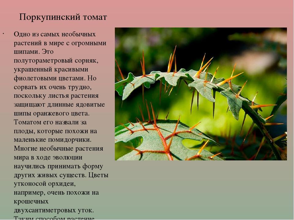 Поркупинский томат Одно из самых необычных растений в мире с огромными шипами...