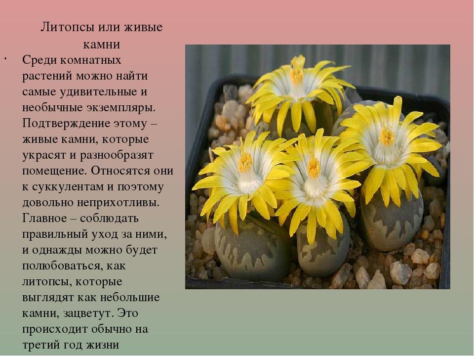 Литопсы или живые камни Среди комнатных растений можно найти самые удивительн...