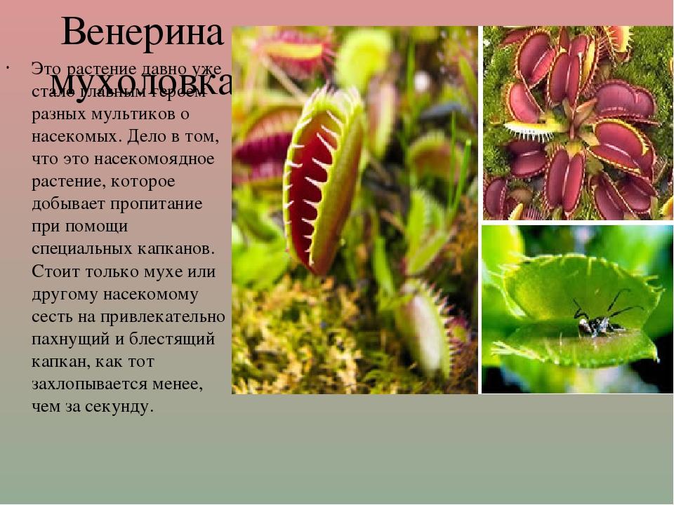 Венерина мухоловка Это растение давно уже стало главным героем разных мультик...