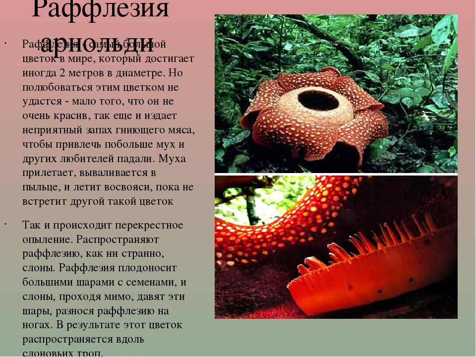 Раффлезия арнольди Раффлезия - самый большой цветок в мире, который достигае...