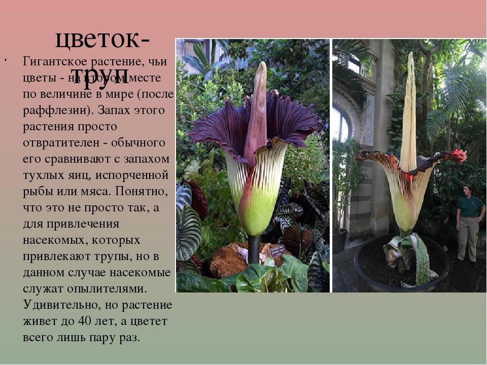 цветок-труп Гигантское растение, чьи цветы - на втором месте по величине в м...