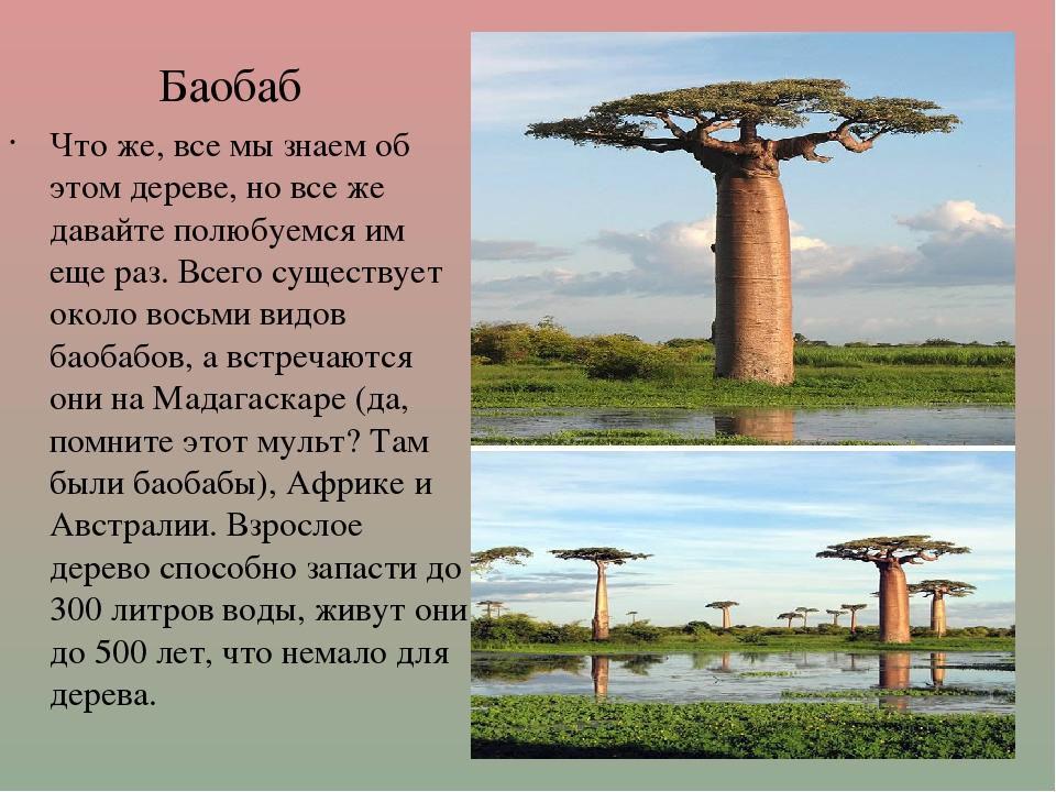 Баобаб Что же, все мы знаем об этом дереве, но все же давайте полюбуемся им...
