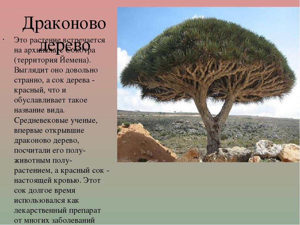 Драконово дерево Это растение встречается на архипелаге Сокотра (территория Й...