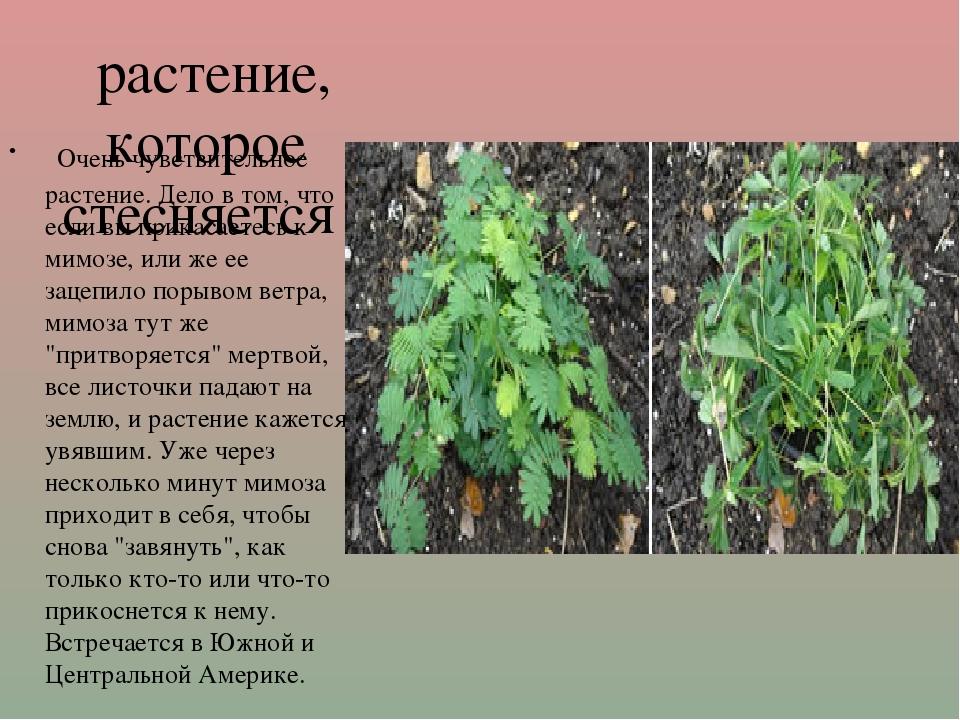 растение, которое стесняется Очень чувствительное растение. Дело в том, что...