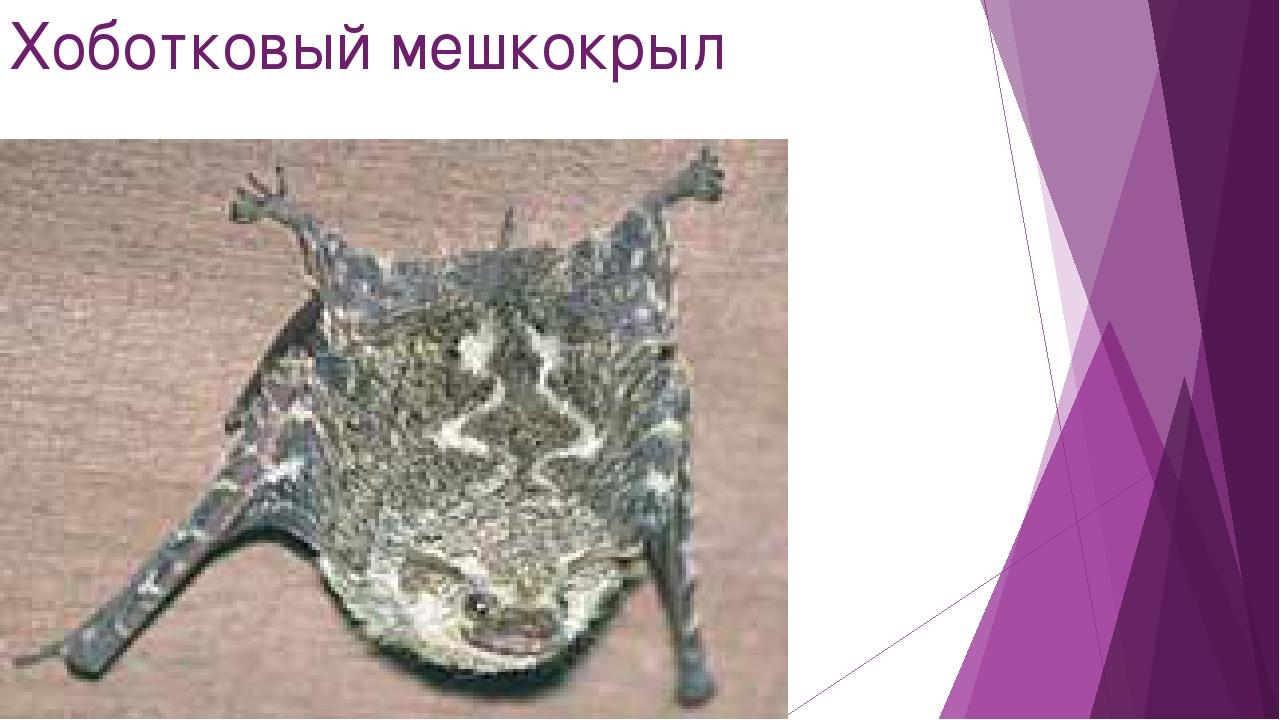 Хоботковый мешкокрыл